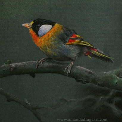 Silver Eared Mesia Pastel Drawing