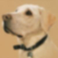 Portrait of a Labrador by Amanda Drage Art
