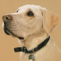 Portrait of a Labrador by Amanda Drage Art