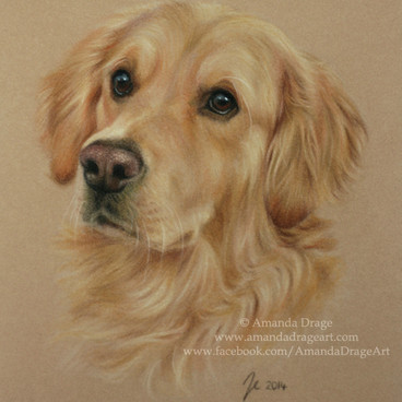 Golden Retriever Pastel Portrait