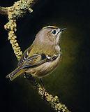 Oil painting of a Goldcrest by Amanda Drage Art