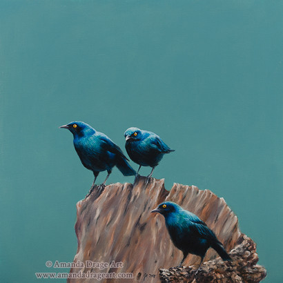 Cape Glossy Starlings Painting
