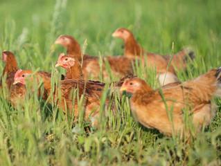 Γιατί τα κοτόπουλα Ελεύθερης Βοσκής Φράγκου είναι πιο Νόστιμα και Υγιεινά;
