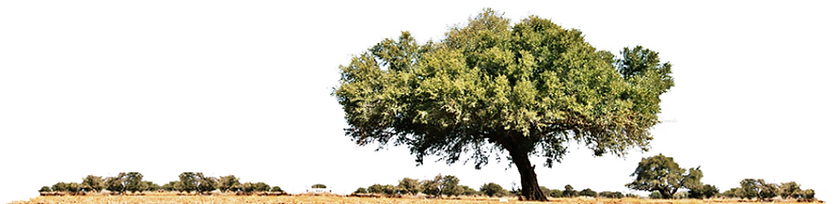Argan Spinosa tree