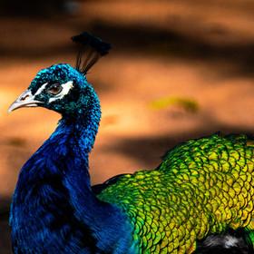 Pavão-de-ombros-negros