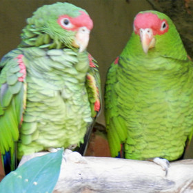 Papagaio-charão