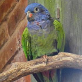 Curica-de-cabeça-azul