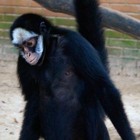Macaco-aranha-de-testa-branca