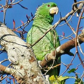 Papagaio-dos-garbes