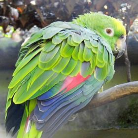 Papagaio-campeiro