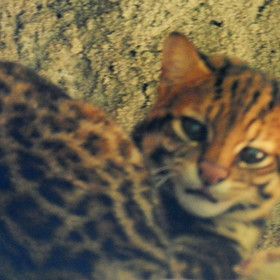 Gato-do-mato-pequeno