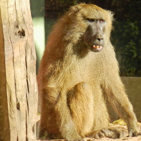 Babuíno-comum