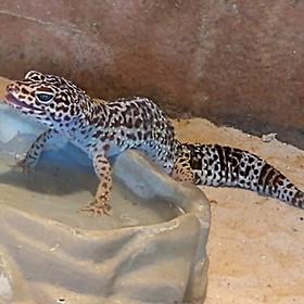 Lagartixa-leopardo