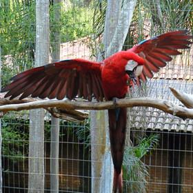 Arara-vermelha
