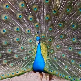Pavão-azul