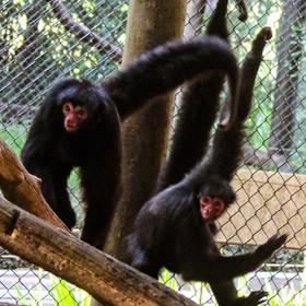 Macaco-aranha-de-cara-vermelha