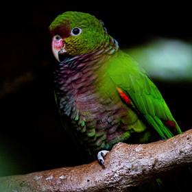 Papagaio-de-peito-roxo