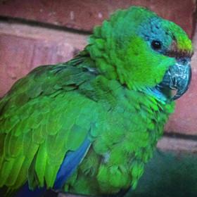 Papagaio-papa-cacau