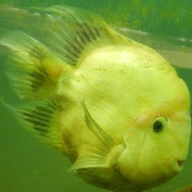 Peixe-papagaio