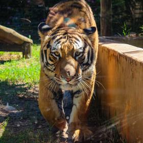 Tigre-siberiano