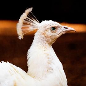 Pavão-branco