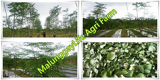 malunggaylife farm