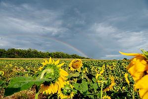 sunflowers rainbow.jpg
