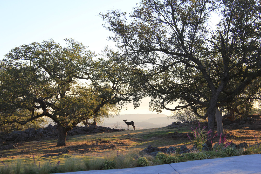 Oak with deer