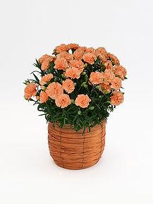 母の日カーネーション鉢オレンジジェラート