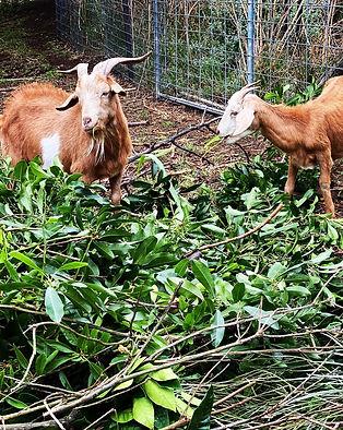 Limestone goats.jpg