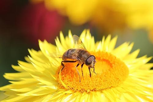Bee on a Daisy.webp