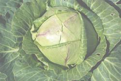 7 cabbage pgwidth bright