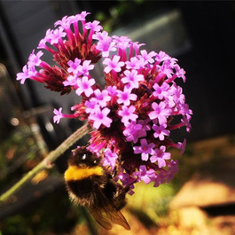 Bees enjoying the verbena