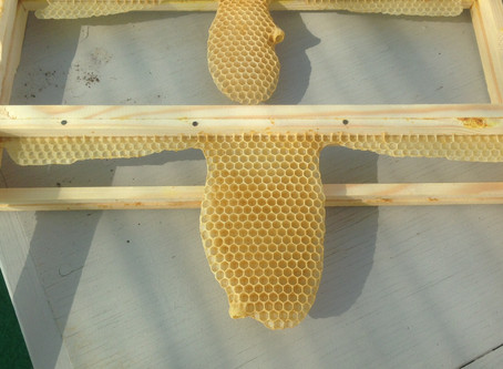 Natural Honeybee Wax Comb 2 - do bees like starter strips?