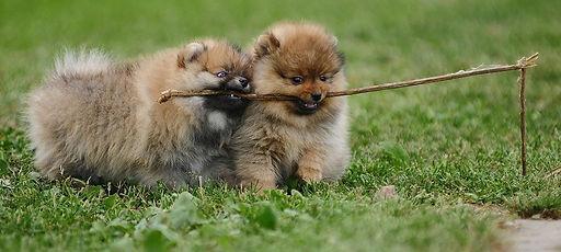 filhotes de lulu da pomerânia