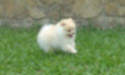 filhote de spitz alemão