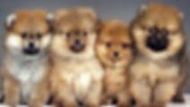 lulu da pomerânia, spitz alemão, venda de filhotes, porto alegre, canil