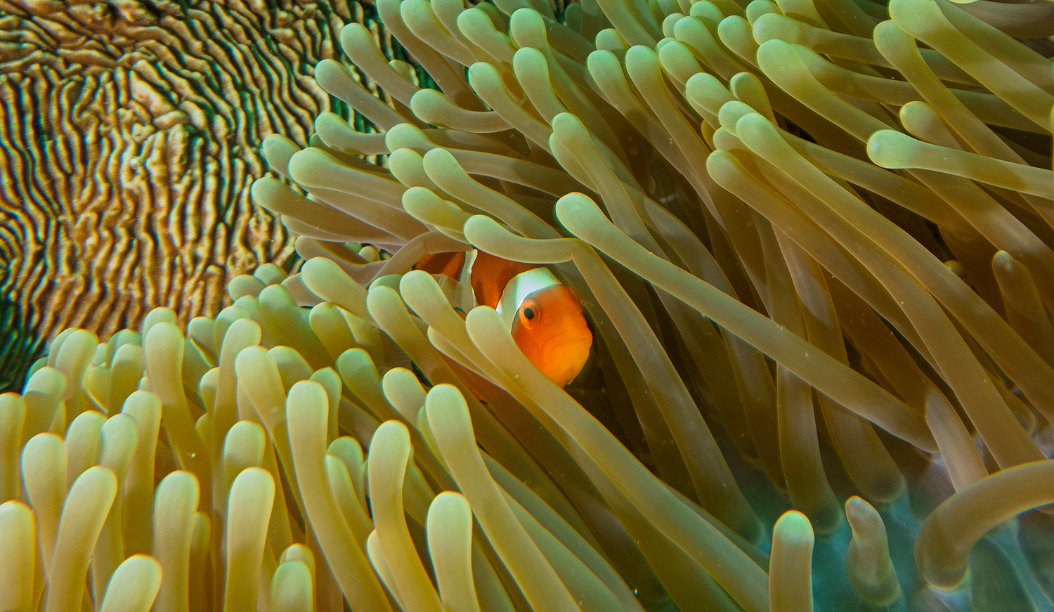 Clown Fish Sangalaki