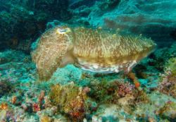Maratua Cuttle Fish