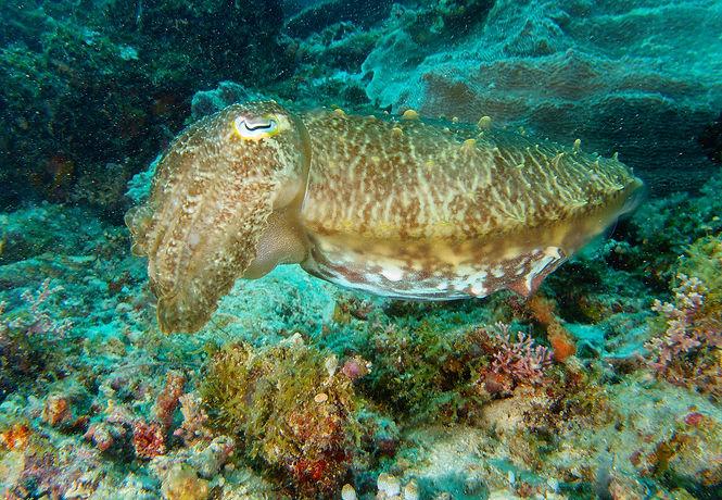 Cuttle Fish at Maratua