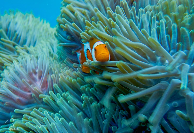Maratua Nemo
