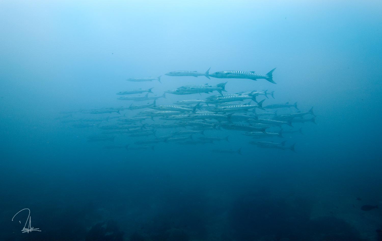 Kakaban Barracuda