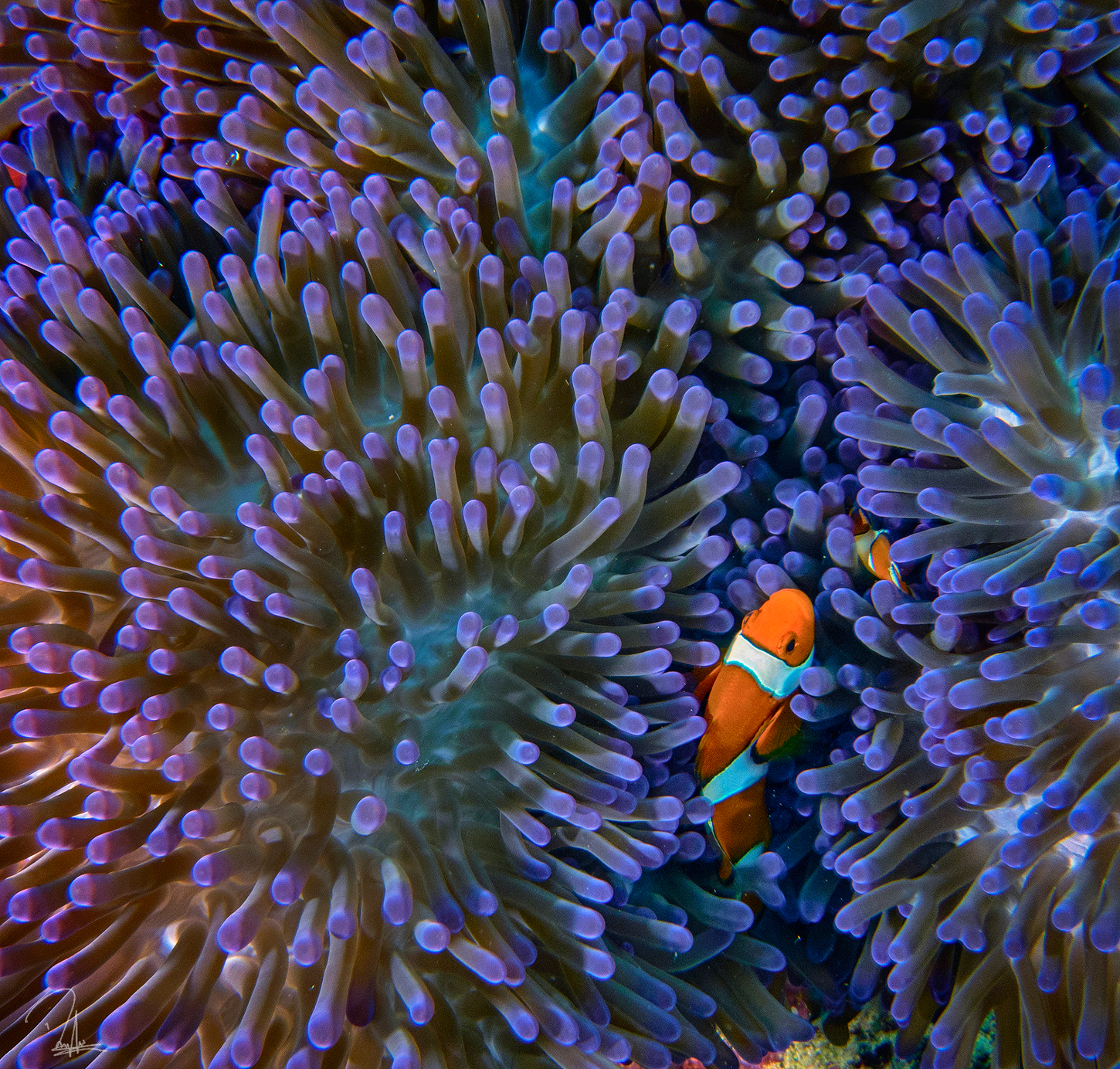 Purple Clown Fish