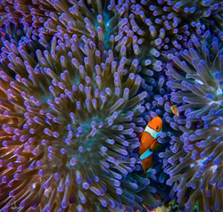 Purple Clown Fish