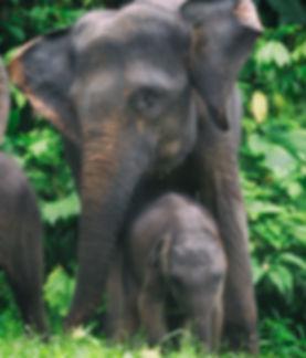 Gajah Tangkahan