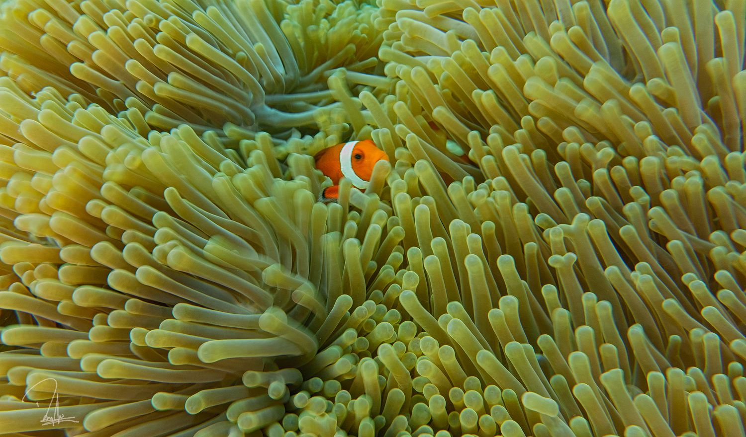 Clown Fish Maratua