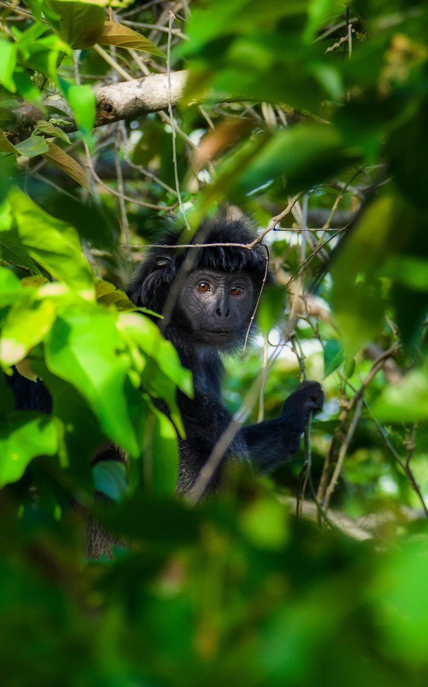 Papuma Monkey