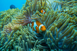 Maratua Clown Fish
