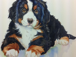 """Think it through"" Bernese Mountain Dog"