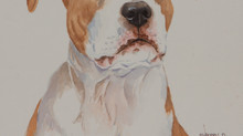 American Staffordshire Terrier- Waiting for the command